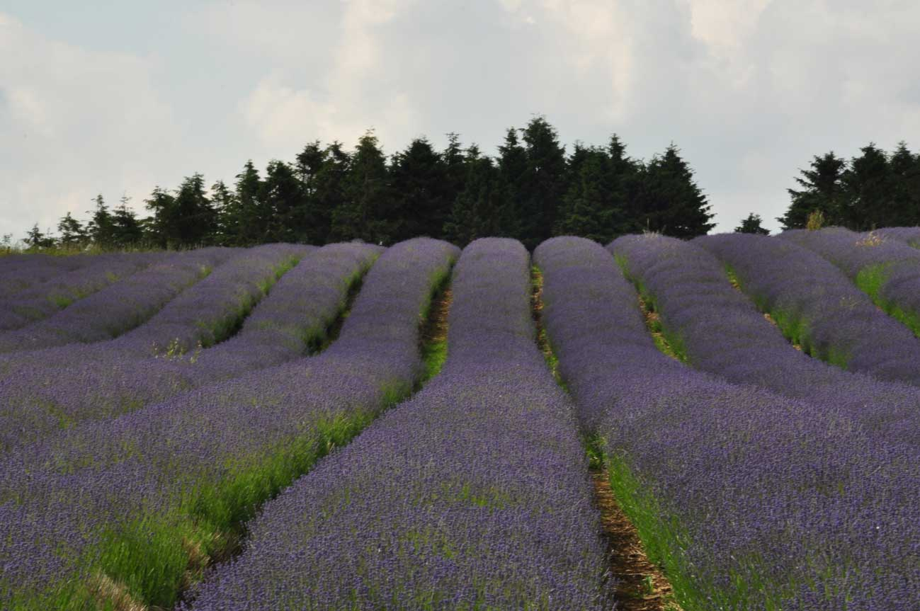 cotswolds-lavender1