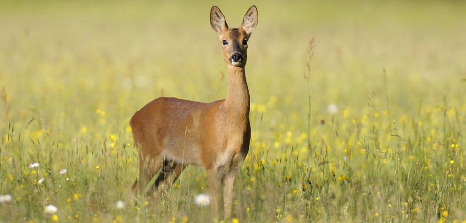 Deer- Cotswolds Tours Photos