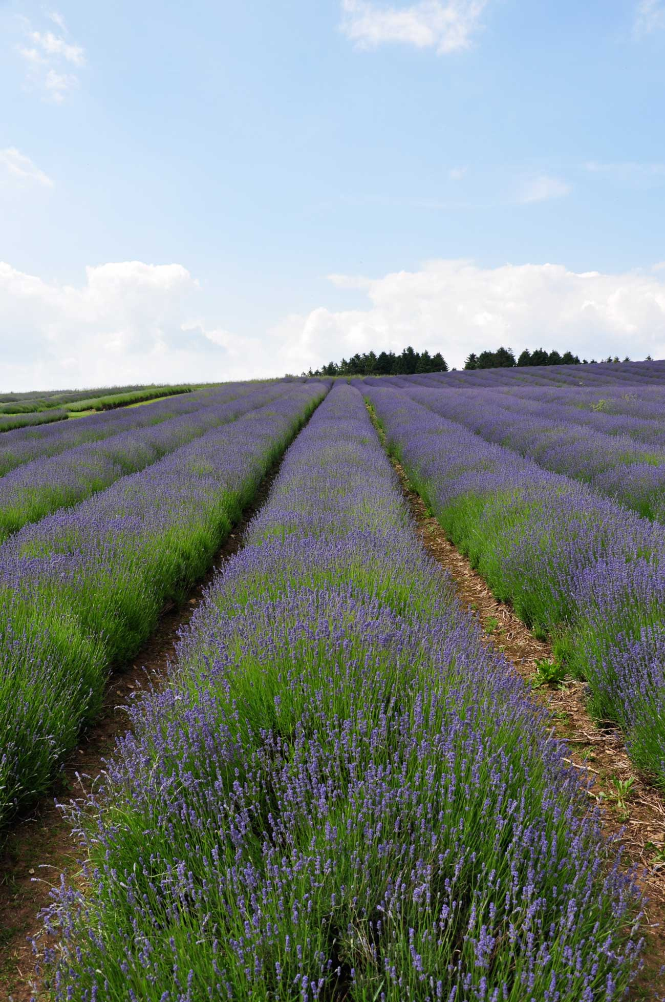 cotswolds-lavender2