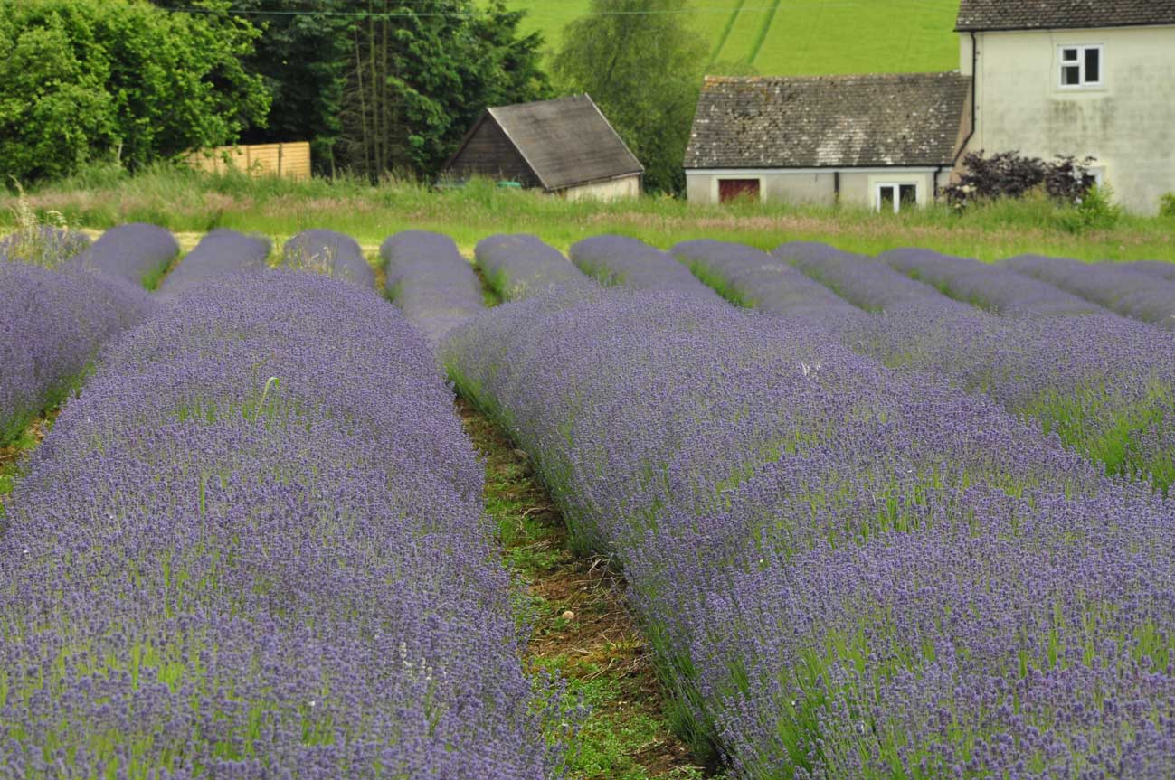cotswolds-lavender3