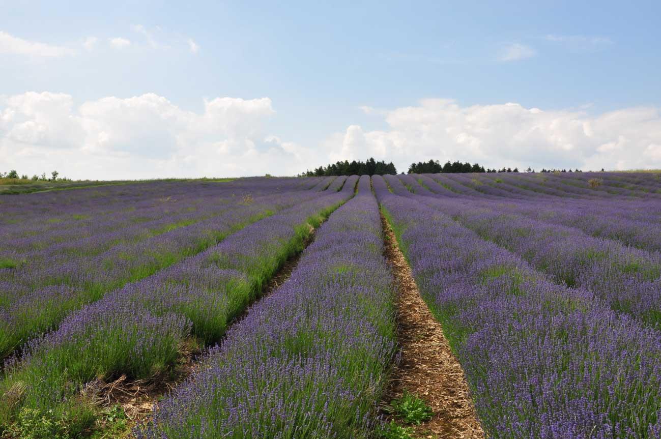 cotswolds-lavender4