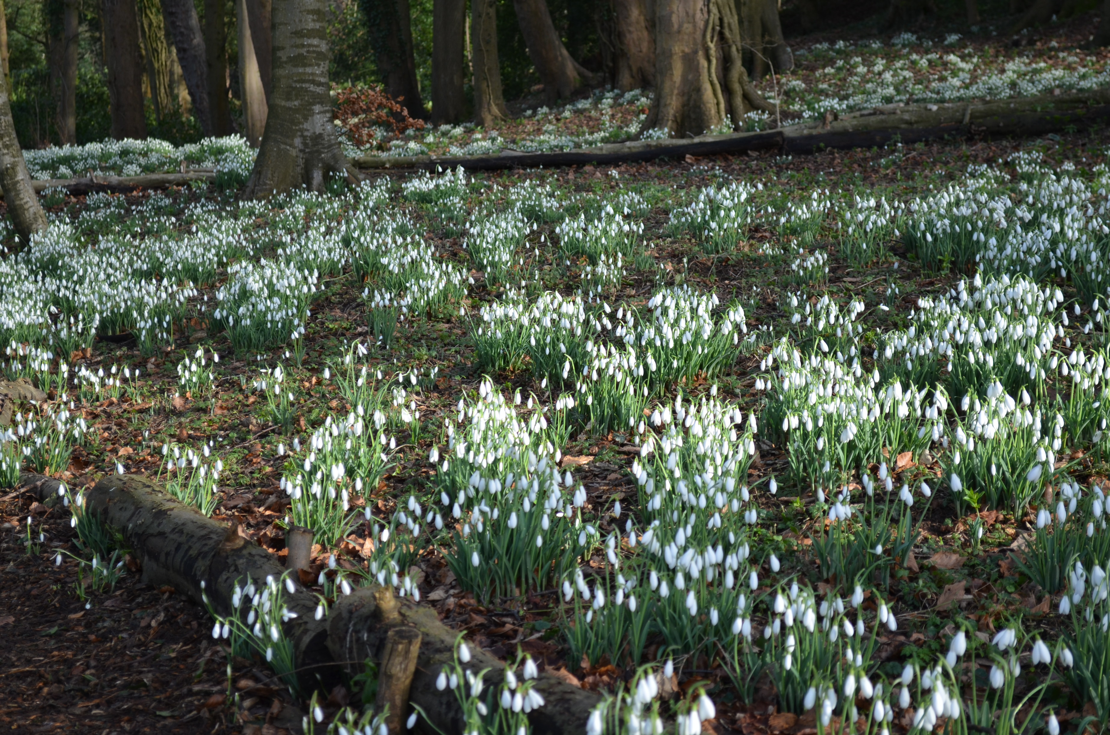 Painswick Snowdrops